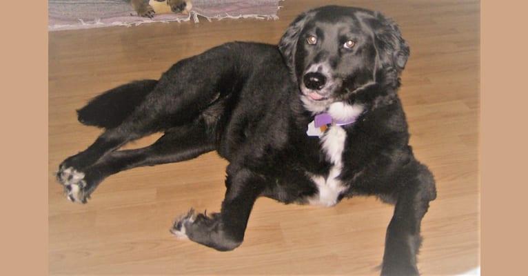 Photo of Sophie, a Rat Terrier, Labrador Retriever, Chow Chow, Golden Retriever, and Mixed mix