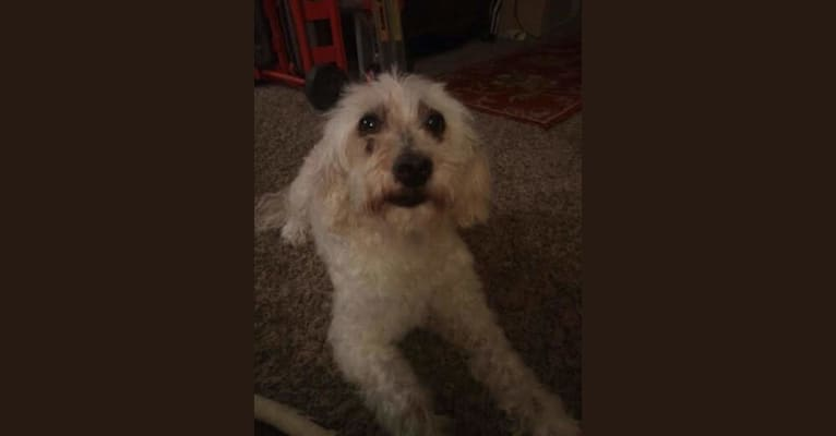 Photo of Bert, a Poodle (Small), West Highland White Terrier, Cocker Spaniel, and Lhasa Apso mix in San Diego, California, USA