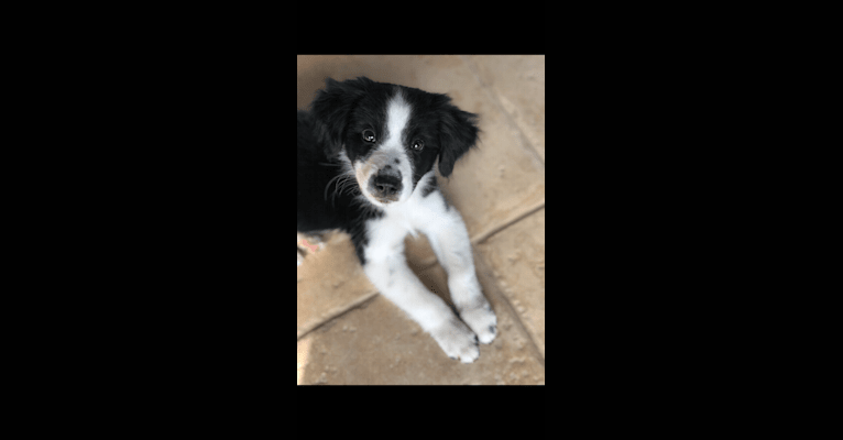 Photo of Quinn, a Border Collie, Rottweiler, Chow Chow, and Australian Cattle Dog mix in Sulphur Springs, Texas, USA