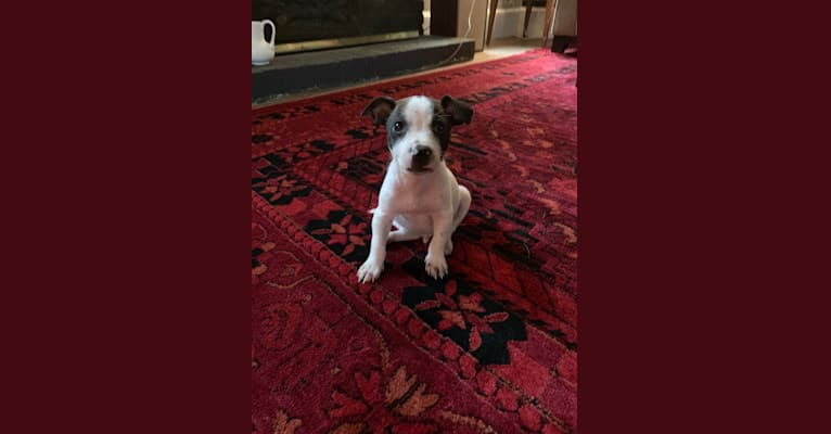 Photo of Dipper, a Russell-type Terrier, American Bully, Chihuahua, and Mixed mix in Newport, Tennessee, USA