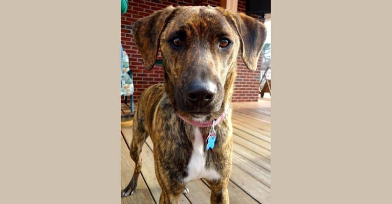 Photo of Daavi, a Boxer, Labrador Retriever, and Collie mix in Troutville, Virginia, USA