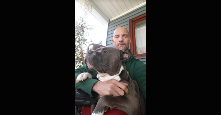 Photo of Zeus, an American Bully  in Rochester, New York, USA