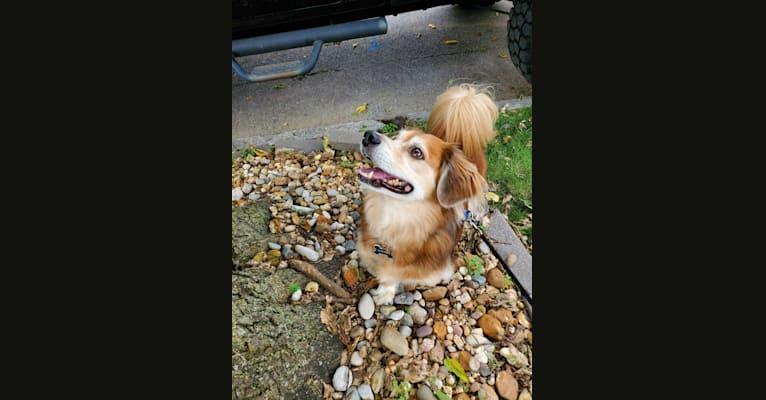 Photo of Waffles, a Dachshund, Shih Tzu, Beagle, Australian Cattle Dog, and Mixed mix in St. Louis, Missouri, USA