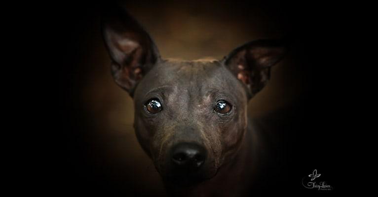 Photo of Inferno, an American Hairless Terrier  in Deutschland