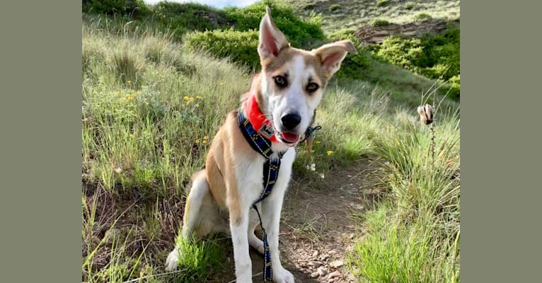 Photo of Beau Hoover Becker, a German Shepherd Dog, American Pit Bull Terrier, Chow Chow, Australian Cattle Dog, and Mixed mix in New Mexico, USA