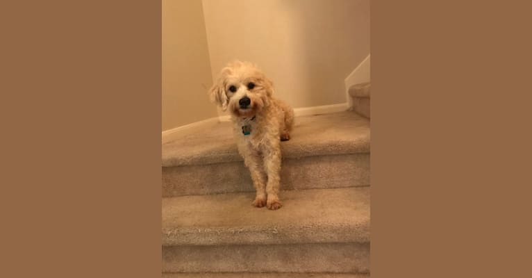 Photo of Evie, a Poodle (Small), Chihuahua, Rat Terrier, and Dachshund mix in San Antonio, Texas, USA