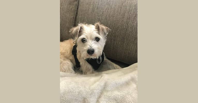 Photo of Louie, a Rat Terrier, Miniature Schnauzer, Chihuahua, and Dachshund mix in Indianapolis, Indiana, USA