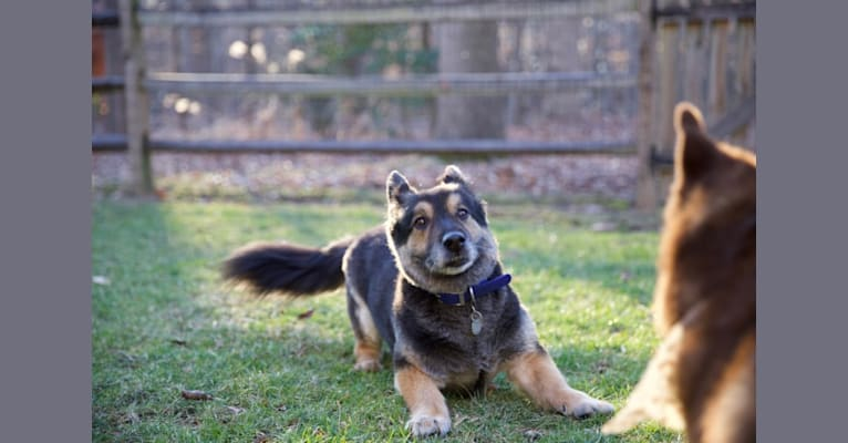 Photo of Simba, a German Shepherd Dog, Labrador Retriever, Russell-type Terrier, Australian Shepherd, and Australian Cattle Dog mix