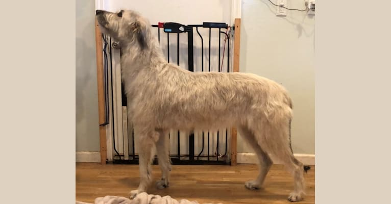 Photo of Terra, an Irish Wolfhound