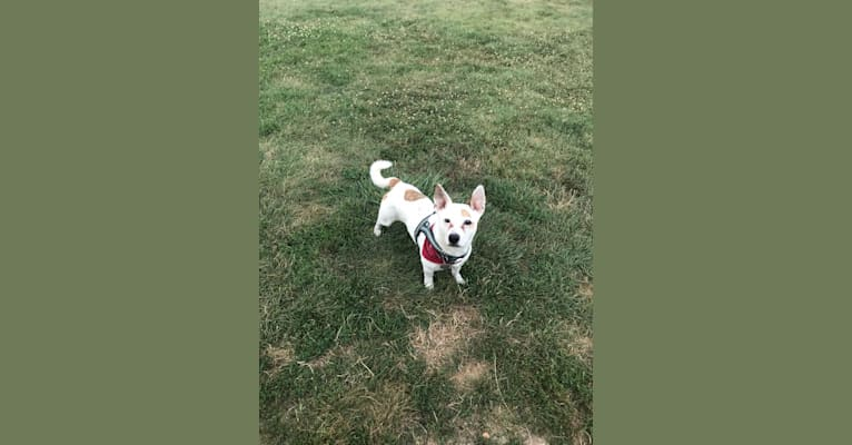 Photo of Linus, a Russell-type Terrier, American Pit Bull Terrier, Shih Tzu, American Eskimo Dog, and Pug mix in Columbus, Ohio, USA