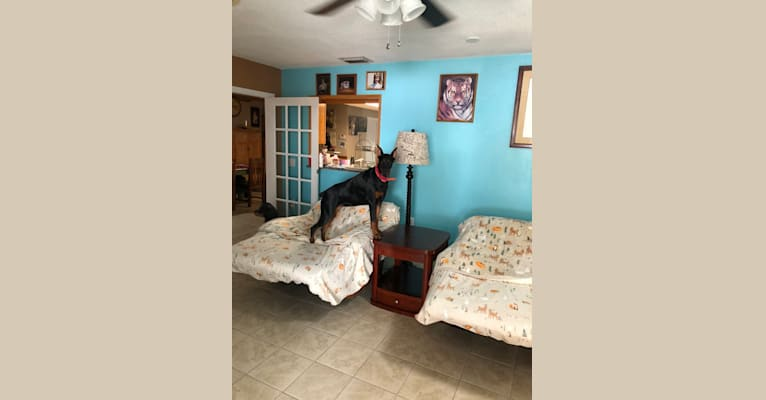 Photo of Najee, a Doberman Pinscher  in Jacksonville, FL, USA