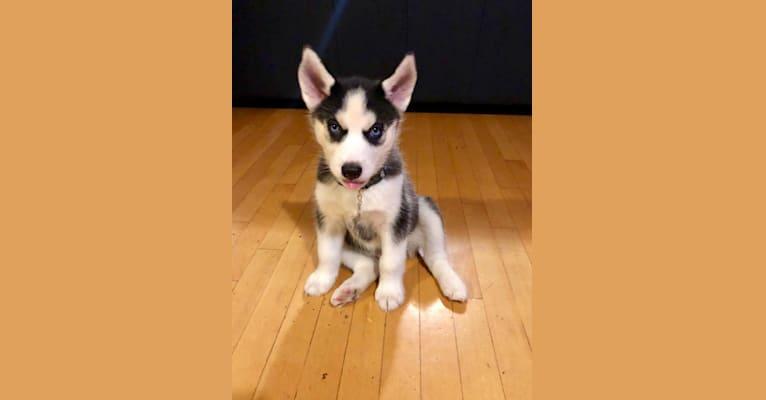 Photo of Rookie, a Siberian Husky  in Plainfield, NJ, USA