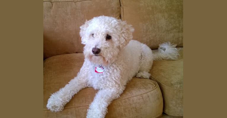 Photo of Cody, a Poodle (Small) and English Springer Spaniel mix in Orange, California, USA