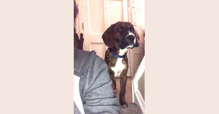 Photo of Nipsey Cuddle, a Plott and Beagle mix in Darlington, SC, USA