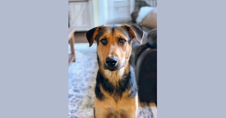 Photo of Loki, a Rottweiler, German Shepherd Dog, and Siberian Husky mix in Texas, USA