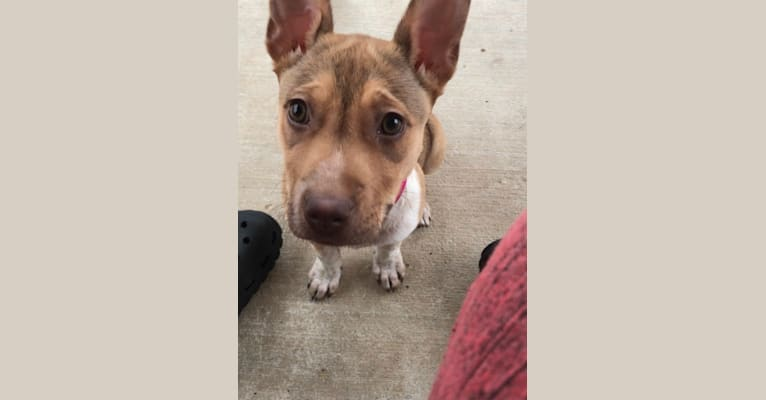 Photo of Evie, an American Pit Bull Terrier, Australian Cattle Dog, and Siberian Husky mix in San Antonio, TX, USA