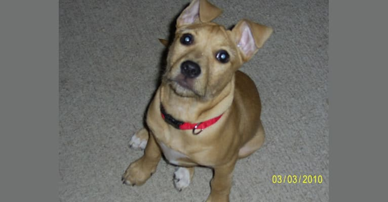 Photo of Bailey, an American Pit Bull Terrier, American Bulldog, and Beagle mix in Springfield, Illinois, USA