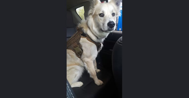Photo of Apollo, a Siberian Husky, Boston Terrier, Chow Chow, American Pit Bull Terrier, and Mixed mix in Texas, USA