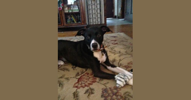 Photo of Guinness, an American Pit Bull Terrier, Boxer, and Siberian Husky mix in Ohio, USA