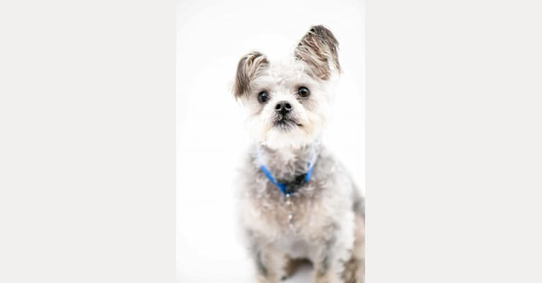 Photo of Toby, a Poodle (Small), Chihuahua, Yorkshire Terrier, and Mixed mix in Tony La Russa's Animal Rescue Foundation (ARF), Mitchell Drive, Walnut Creek, CA, USA