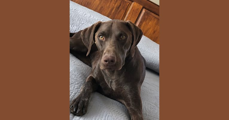 Photo of Pippa, a German Shorthaired Pointer  in Wellton, AZ, USA