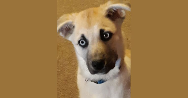 Photo of Wendaline, a Siberian Husky, Pomeranian, and Border Collie mix in Ohio, USA
