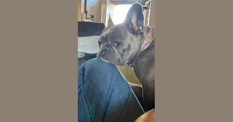 Photo of Graycie Mae, a French Bulldog  in Arizona, USA