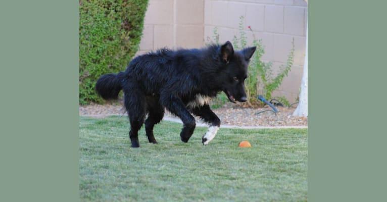 Photo of Austin, an Australian Shepherd, Australian Cattle Dog, Border Collie, Collie, and Mixed mix in Gilbert, Arizona, USA