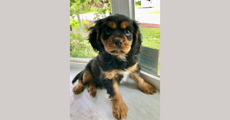 Photo of Quill, a Cavalier King Charles Spaniel  in Taylorsville, Utah, USA