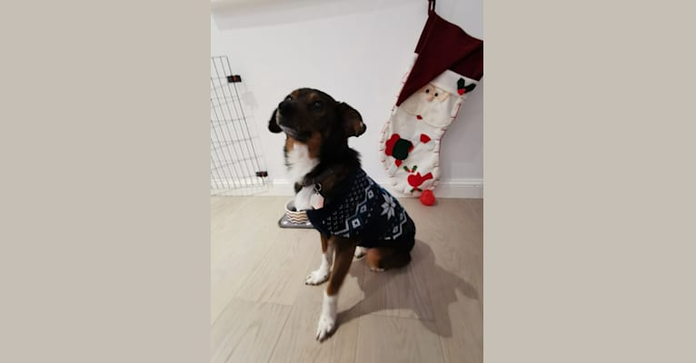 Photo of Milo, an Eastern European Village Dog and Pekingese mix in Dobra, Județul Hunedoara, Romania