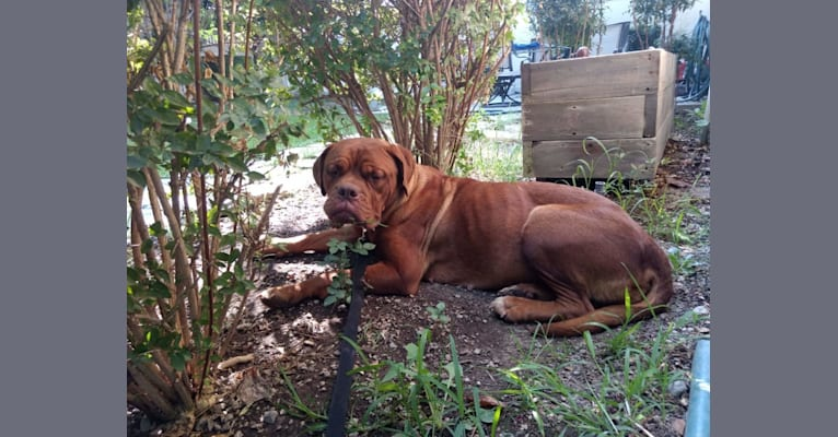 Photo of Nyla, a Dogue de Bordeaux  in Corning, California, USA