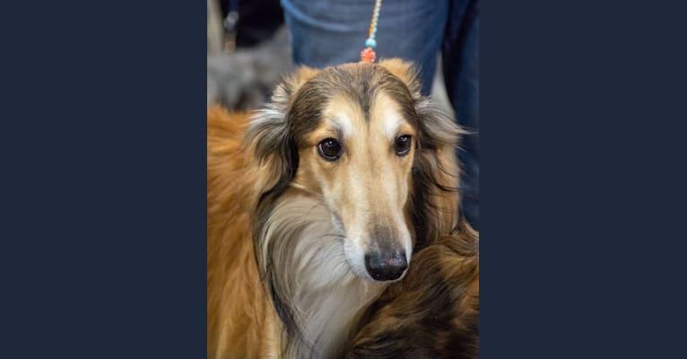 Photo of Flynn, a Silken Windhound  in Dayton, Ohio, USA