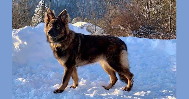 Photo of Infinite Horizon Fenris Fangs, a German Shepherd Dog  in The Netherlands
