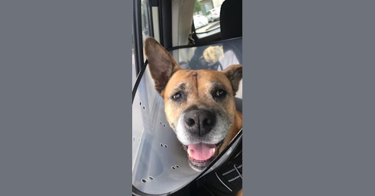 Photo of Jules, a Boxer and Chow Chow mix in Virginia Beach, Virginia, USA