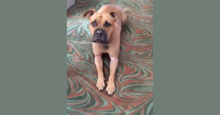 Photo of Jack, an American Pit Bull Terrier and American Staffordshire Terrier mix in Las Vegas, NV, USA