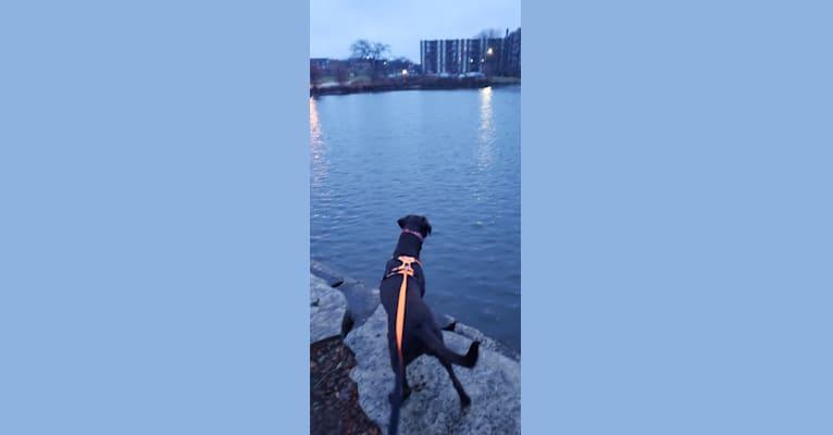 Photo of Bree, a Labrador Retriever