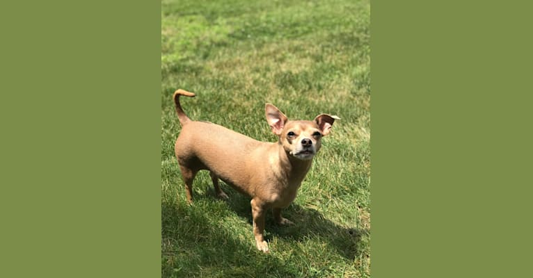 Photo of Bella, a Chihuahua, Poodle (Small), and Pekingese mix in Philadelphia, Pennsylvania, USA