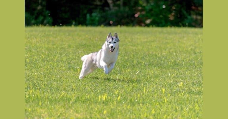 Photo of Oliver, a Siberian Husky  in Belarus