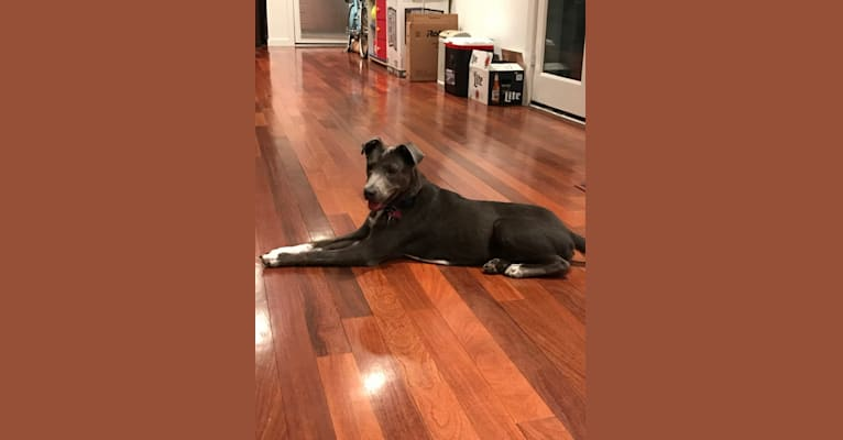 Photo of Pepper, a Chow Chow, American Pit Bull Terrier, German Shepherd Dog, Boxer, Australian Cattle Dog, and Mixed mix in Houston, Texas, USA
