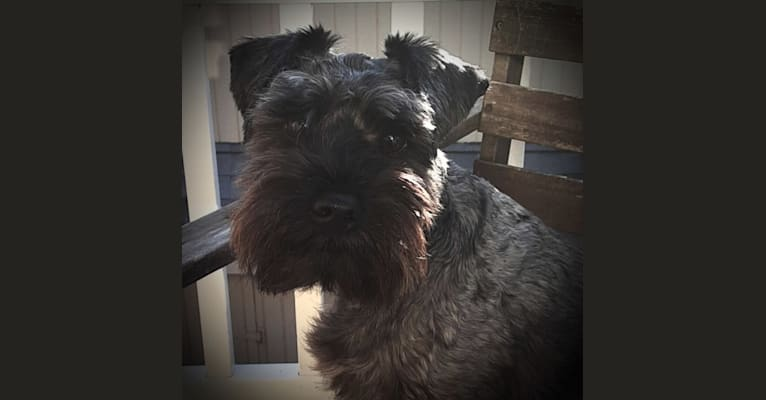 Photo of Syd Knight, a Miniature Schnauzer, Poodle (Small), and Chihuahua mix in Redondo Beach, California, USA