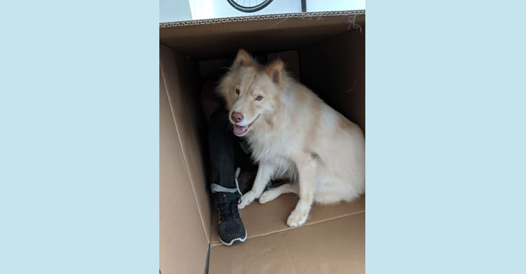 Photo of Kumo, a Siberian Husky and Mixed mix in SF, California, USA
