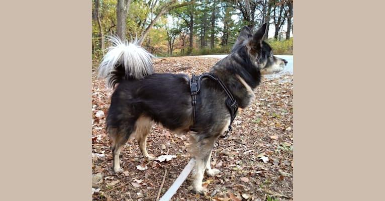 Photo of Kaja, a Chow Chow, American Eskimo Dog, Collie, Llewellin Setter, Dalmatian, and Mixed mix in Davenport, Iowa, USA