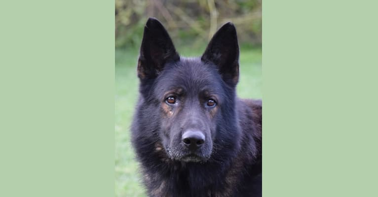 Photo of Paxx, a German Shepherd Dog