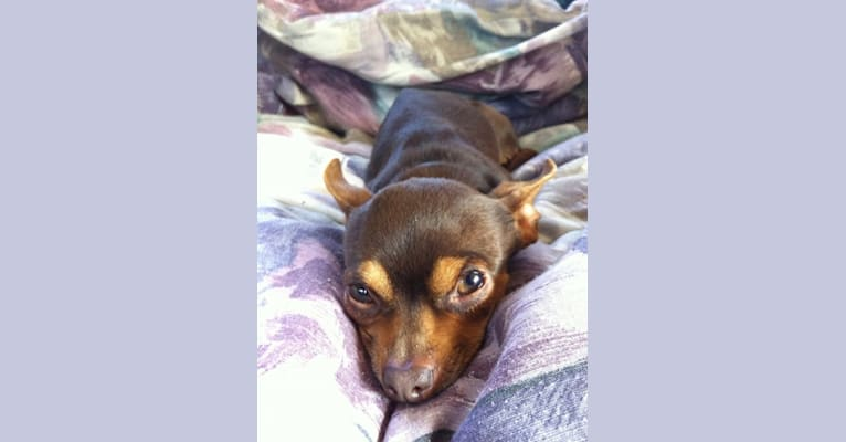 Photo of Nacho Dog, a Chihuahua, Pomeranian, Russell-type Terrier, and Mixed mix in SF, California, USA