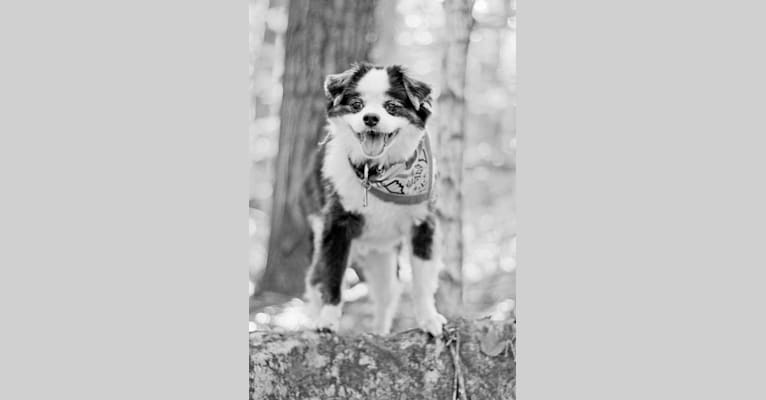 Photo of Bear, a Japanese Chin, Poodle (Small), Shih Tzu, and Pomeranian mix in Ontario, Canada