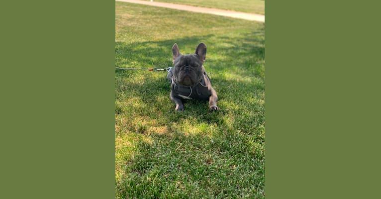 Photo of Nardo, a French Bulldog  in Addison, IL, USA