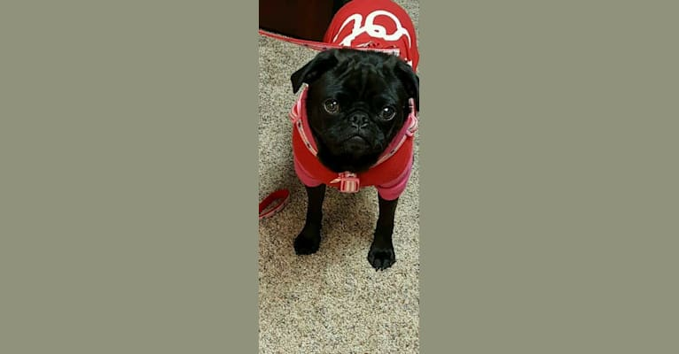 Photo of Princess Ebony, a Pug  in La Center, Washington, USA