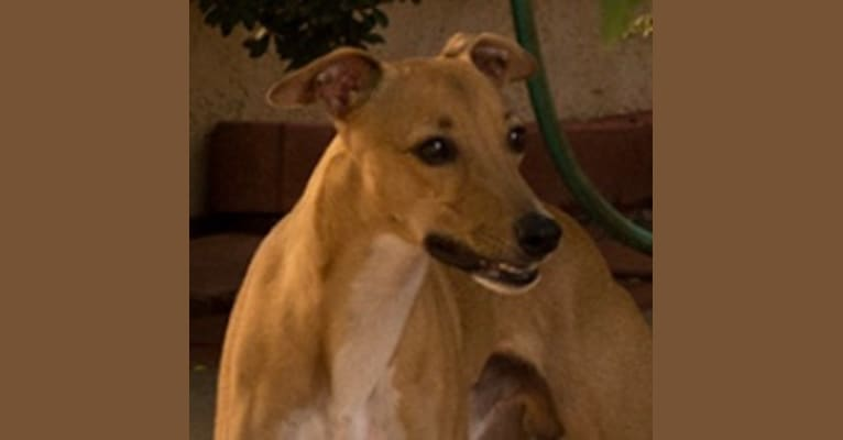Photo of Roo, a Whippet and Border Collie mix in Pahrump, NV, USA