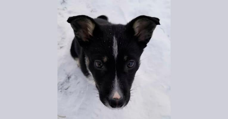 Photo of Nova, a Siberian Husky, German Shepherd Dog, Alaskan Malamute, Rottweiler, and Mixed mix in Alberta, Canada