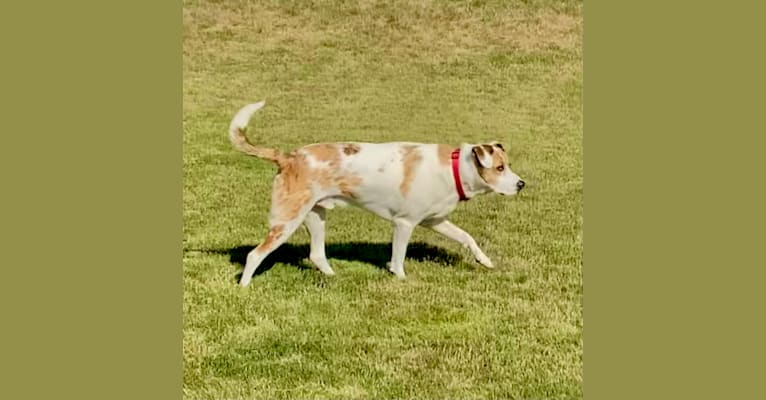 Photo of Jasper, an American Pit Bull Terrier, Australian Shepherd, Labrador Retriever, and Mixed mix in Texas, USA